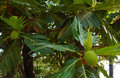 Breadfruit fruit of a tree grows on a tree Royalty Free Stock Images