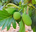 Breadfruit the on its tree Royalty Free Stock Photos