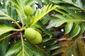 Breadfruit on the tree Royalty Free Stock Photo