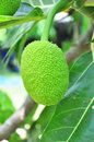Breadfruit on tree Stock Photo