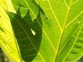 Breadfruit Tree Texture Leaf Royalty Free Stock Photo