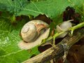 Breakfast of the snail leaf Royalty Free Stock Images