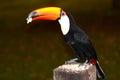 Breakfast with toucan toucans at the pousada aguape aquidauana mato grosso do sul brazil Royalty Free Stock Image
