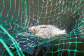 Bream in landing net closeup