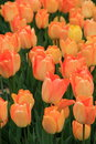 Breathtaking scene of soft peach color tulips Royalty Free Stock Photo