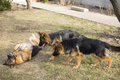 Breed dog German shepherd Royalty Free Stock Photo