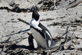 Breeding African Penguin at Boulders Beach, Cape Stock Image