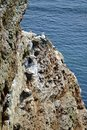 Breeding birds in the cliffs of helgoland sandstone cliff with german island north sea this is a nature protection area Stock Photos