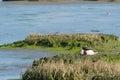 Breeding common shelduck in dutch wadden sea Royalty Free Stock Image