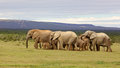 Breeding Elephant Herd Royalty Free Stock Photo