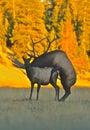 Breeding Elk Stock Photography