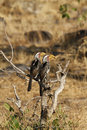 Breeding pair of southern yellow billed hornbills these birds are known locally as the flying banana Royalty Free Stock Images