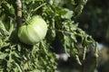 Breeding plum tomatoes growing on vine in garden Royalty Free Stock Photo