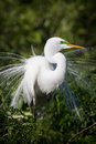 Breeding plumage extended on great white egret Royalty Free Stock Photo