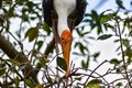 Breeding Yellow-Billed Stork Mycteria ibis Collecting Nesting Royalty Free Stock Photo