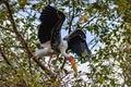 Breeding Yellow-Billed Stork Mycteria ibis Collecting Nesting Royalty Free Stock Photo