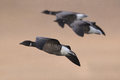 Brent or Brant Geese in flight, close up. Royalty Free Stock Photo