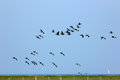 Brent geese in flight over the Hallig Hooge Royalty Free Stock Image