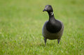 Brent goose Stock Photos