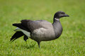 Brent goose Stock Photo