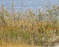 Breve owl revealed near the ocean eared Fotografia Stock Libera da Diritti