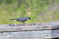 Brewer s blackbird eating on green background Stock Photos