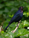 Brewer's Blackbird(Euphagus cyanocephalus) Royalty Free Stock Photos