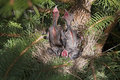 Brewers Black bird chicks in nest Stock Image