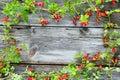 Briar at dark planks autumn background Royalty Free Stock Image