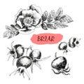 Briar. Wild rose Royalty Free Stock Photo
