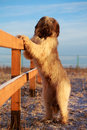 Briard dog pale yellow and wood Royalty Free Stock Photo