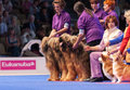 Briard and pembroke welsh corgi july th paris france in the show ring at the world dog show Royalty Free Stock Photo