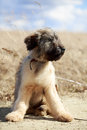 Briard puppy little pale yellow Royalty Free Stock Image
