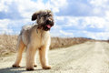 Briard puppy little pale yellow Royalty Free Stock Photo