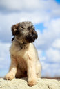 Briard puppy little pale yellow Royalty Free Stock Photos