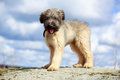 Briard puppy little pale yellow Stock Photo