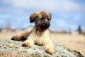 Briard puppy little pale yellow Royalty Free Stock Images