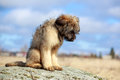 Briard puppy little pale yellow Stock Images