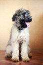 Briard puppy little pale yellow Royalty Free Stock Photography