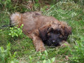 A briard puppy lying in the grass Stock Photos