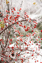 Briars fruit and freezing fog red covered by Royalty Free Stock Photos