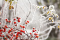 Briars fruit and freezing fog red covered by Royalty Free Stock Photo