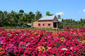 A brick house with Bougainvillea flowers in Vinh Long, Vietnam Royalty Free Stock Photo
