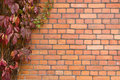 Brick wall covered in ivy Royalty Free Stock Photo