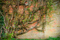 The brick wall english victorian with plant growth attached Stock Images
