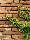 Brick wall with green ivy Royalty Free Stock Photography