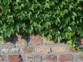 Brick wall with green ivy leaves, close up Royalty Free Stock Photo