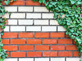 Brick wall with ivy Royalty Free Stock Photo