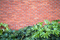 Brick wall new and fatsia japonica abstract background with horizontal Royalty Free Stock Images