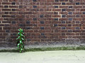 Brick wall and plant growing between the the pavement Stock Photography